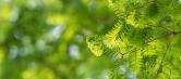 水杉树苗批发基地教您如何选购水杉树苗时需要注意什么