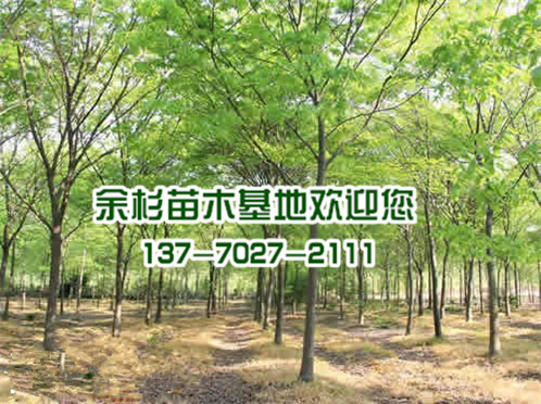 榉树种植基地