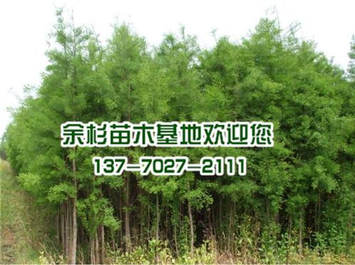 水杉树苗价格