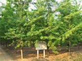 银杏苗木基地