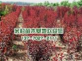 红叶李苗木