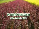 红叶李树苗