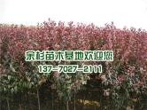 东台红叶李