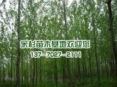 东台意杨树