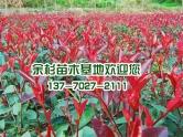 东台红叶石楠
