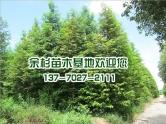 江苏水杉树