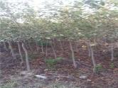 北美垂丝海棠